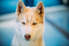Close Up White And Red Husky Puppy Eskimo Dog Royalty Free Stock Photos