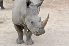 Close up White Rhino. Close up of a single Northern White Rhinos (Ceratotherium simum cottonl Stock Photography