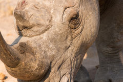 Close-up of a white rhino head with a tough wrinkled skin Royalty Free Stock Images