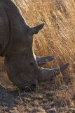 Close-up of white rhino head with tough wrinkled skin Stock Photos