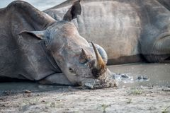 Close up of a White rhino laying down royalty free stock photos