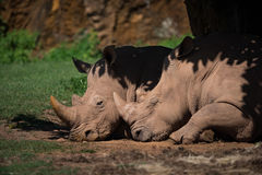 Close-up of white rhinoceros dozing in shade Royalty Free Stock Photography