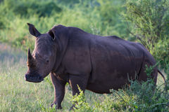 Close up a white rhinoceros Royalty Free Stock Photography