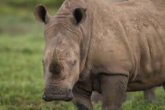 Close up a white rhinoceros Royalty Free Stock Photo