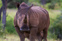 Close up a white rhinoceros Stock Photography