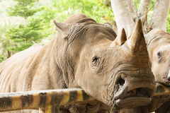 Close up the white rhinoceros. In the park Royalty Free Stock Images