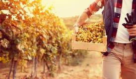 Close up of white grapes stock photos