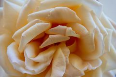 Close-up of a white rose stock photography
