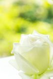 Close up of white rose Stock Photography