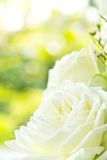 Close up of white rose Stock Photos