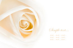 Close-up of white rose Royalty Free Stock Photography