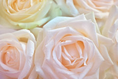 Close up of white rose. Abstract flower background. Flowers made with color filters Stock Images