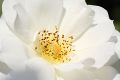 Close up of white rose bloom with pistol, stamen, and pollens Royalty Free Stock Images