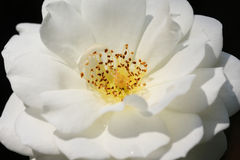 Close up of white rose bloom with stamen and pollens Royalty Free Stock Image