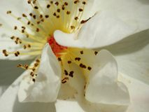 Close up white rose. Close up of white rose bloom with yellow stamen stock photo