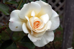 Close up of white rose bud bursting in bloom. With dark background Stock Photography