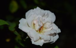 Close up of a white rose stock images