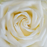 Close up of white rose. Flower background Stock Photo