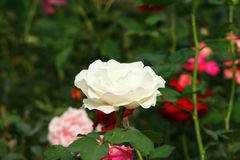 White rose in garden. Close up White rose in garden stock images