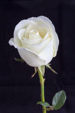 Close up white rose Royalty Free Stock Images