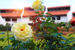 Close up white rose in Khao Kho Royal Palace at Khao Kho mountain Phetchabun at Thailand. Morning in park outdoor and beautiful flower Stock Photography