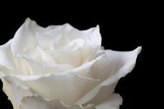 Close Up White Rose On Black Stock Photos