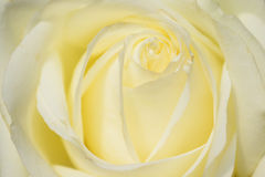 Close up of white rose petals. Stock Images
