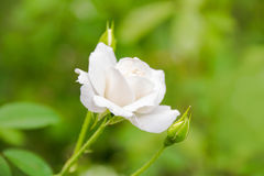 Close up White rose and Rose bud tree in garden Stock Photos