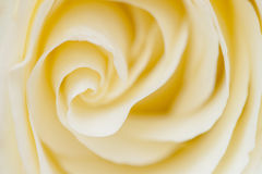 Close up of white rose Royalty Free Stock Photo