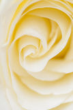 Close up of white rose Royalty Free Stock Photography