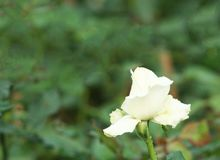 White rose with water drops. Close up White rose with water drops stock photos