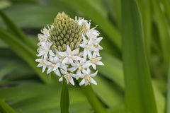 Close up of white scilla peruviana Royalty Free Stock Images