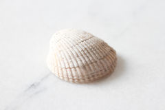Close up of white sea shell Royalty Free Stock Images