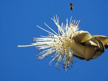 Close-up of a white Shaving Brush Tree. Blue background. stock photo