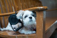 Close up White shih tzu laying on the chair. Close up White shih tzu laying on the long chair Royalty Free Stock Photo