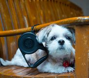 Close up White shih tzu laying on the chair. Close up White shih tzu laying on the long chair Stock Image