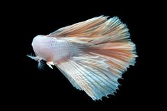 Beautiful betta splendens isolated on black background. Close-up of white siamese fighting fish betta splendens isolated on black background stock images