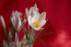 Close-up of white snowdrop in snow against red sk Stock Images