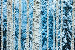 Close-up of white snowy birch trunks in winter forest royalty free stock images