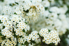Close-up of white spirea flowers. Detail of a cluster of white flower of the spirea Stock Photos