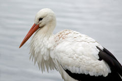 Close-up white stork Stock Photo