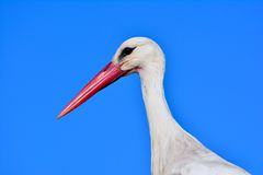 Close-up of white stork with blue sky. Royalty Free Stock Photography