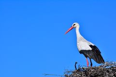 Close-up of white stork in nest Royalty Free Stock Photos