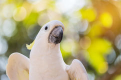 Close up white sulphur crested cockatooCacatua galerita Stock Image