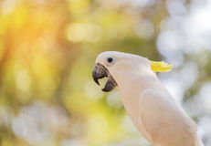 Close up white sulphur crested cockatooCacatua galerita Stock Photography