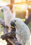 Close up white sulphur crested cockatooCacatua galerita Royalty Free Stock Photography