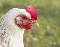 Close up white Sussex chicken Royalty Free Stock Photos