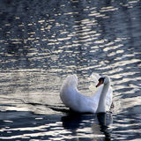 Close up of a white swan Stock Images