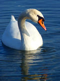Close-up white swan floating in the lake. And its reflection Stock Images