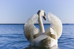 Close up of white swan spreading wings. With blue sky on the background stock images